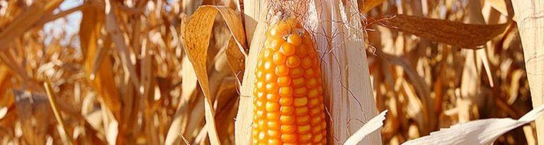 Seca agrava escassez do milho