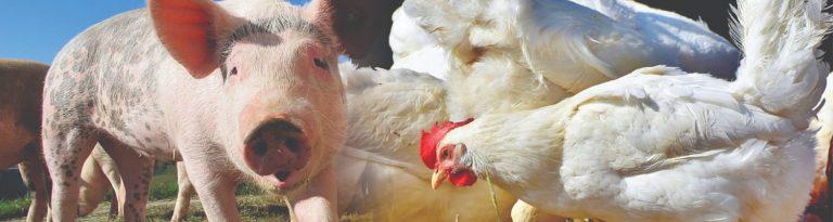 Preço da carne suína cai e aumenta competitividade frente ao frango