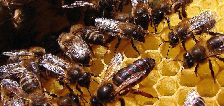 Tecnologia da Epagri para substituir abelhas rainhas pode aumentar produção de mel em até 200%