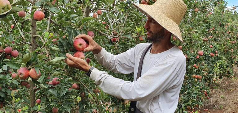 Produtores de maçã de Fraiburgo estão otimistas com a safra deste ano