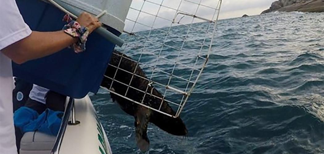 Projeto de Monitoramento de Praias, realiza soltura de lobo-marinho