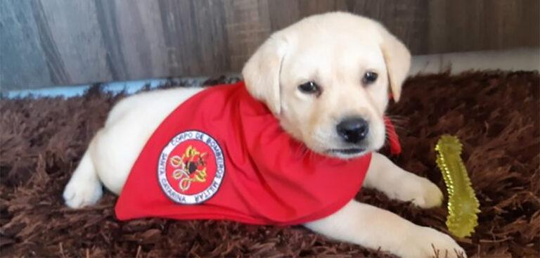 Bob é o novo filhote em treinamento  do Corpo de Bombeiros de SC