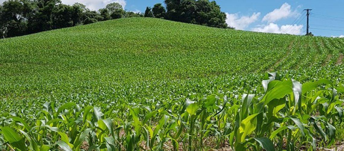 Santa Catarina é o maior importador de milho do Brasil/Foto: Divulgação Internet