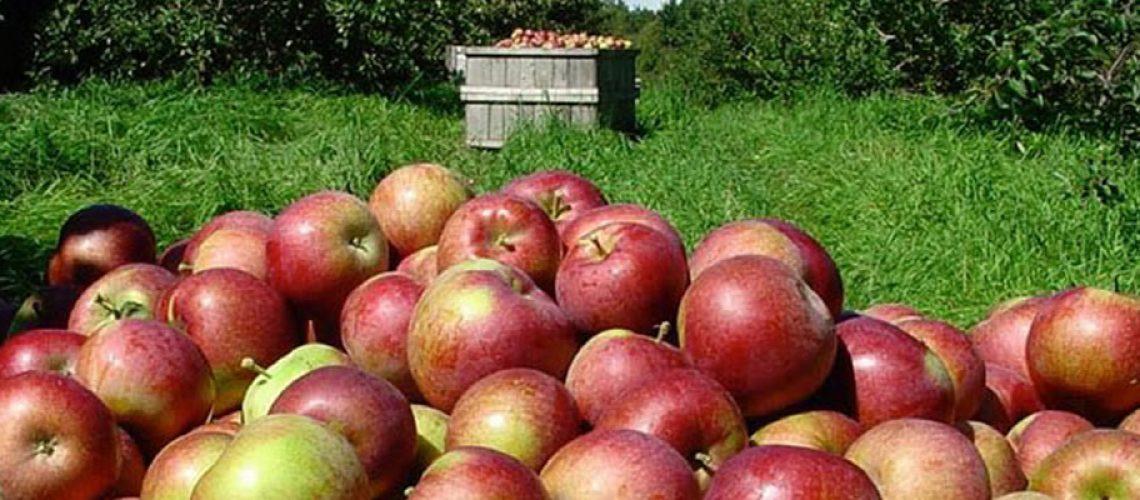 Destaque para a qualidade da fruta – em especial