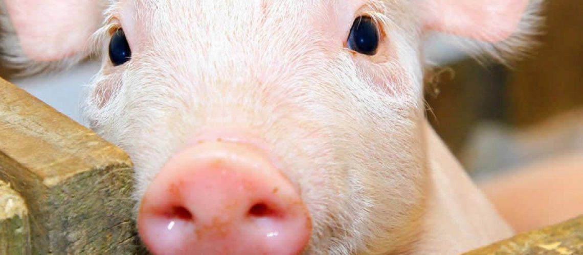 Os embarques de carne suína geraram receita de US$ 100