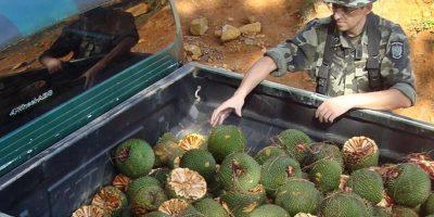A Polícia Militar Ambiental está intensificando o patrulhamento nos locais que comercializam o pinhão/Foto: PM Ambiental
