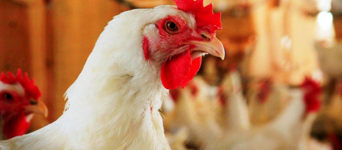 A carne de frango é considerada mais leve do que a bovina e a suína, além de mais barata/Foto: Internet