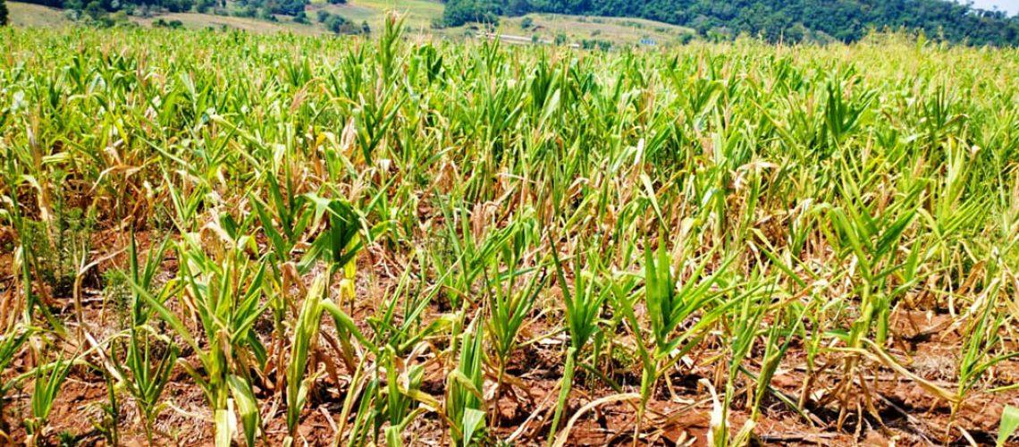 Produção de milho e de leite foram as mais prejudicadas