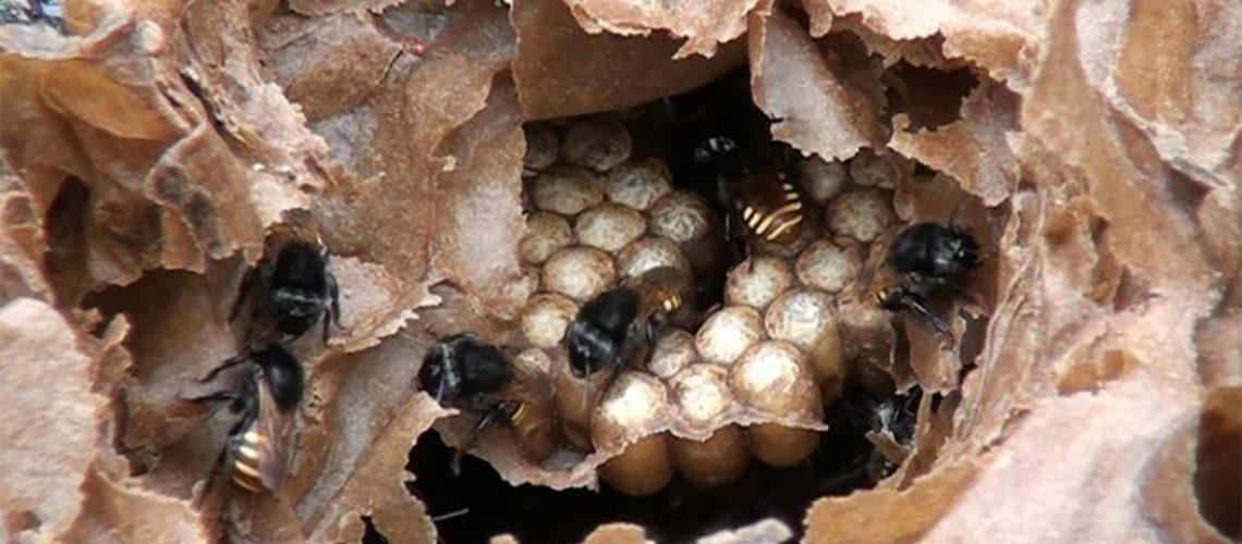 As abelhas sem ferrão são nativas, de fácil manejo e podem ser criadas em áreas rurais e urbanas/Foto: Divulgação Cidasc