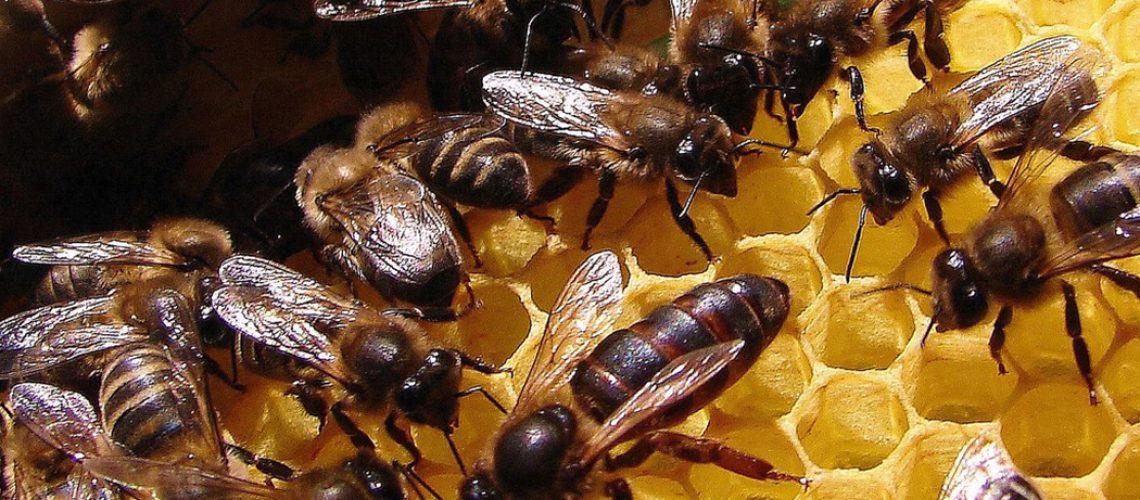 Uma colmeia com rainha nova produz aproximadamente 30% a mais de mel/Foto: Internet