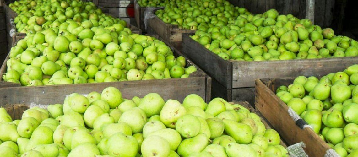 om 5.800 pés de pera em  2,2 hectares, Pomar Oliveira colhe 14 toneladas/hectare da fruta por ano em Monte Castelo