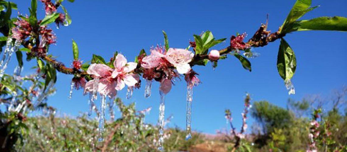 A técnica de congelar a planta ajuda a protegê-la do frio/Foto: Epagri