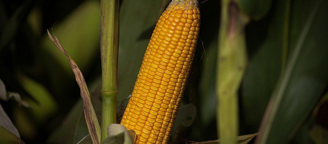 Programa distribuirá 12 mil sacas de milho para replantio na região oeste, a mais afetada pela estiagem