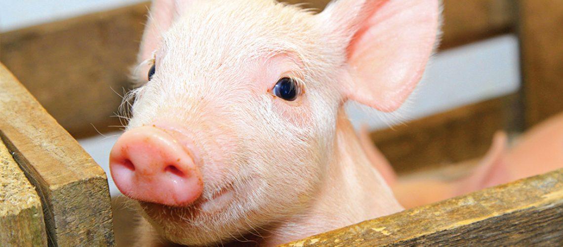 Das 181 mil toneladas de carne suína exportadas por Santa Catarina em 2020, 108 mil tiveram a China como destino/Foto: Internet