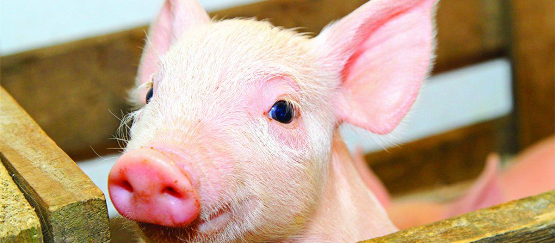 Maior produtor nacional de carne suína, segue ampliando mercados e consolidando sua presença internacional/Foto: Internet