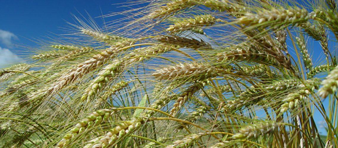 Produção de trigo deve crescer 55% em Santa Catarina/Foto: Aires Mariga /Epagri)