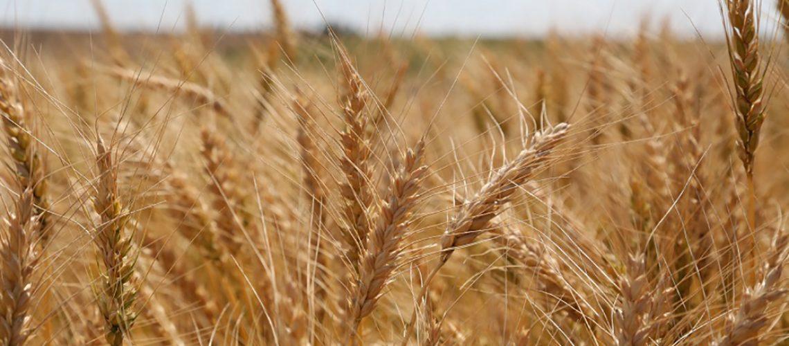 Os produtores rurais da região de Campos Novos optaram pela prática de cobertura de solo/Foto: Assessoria