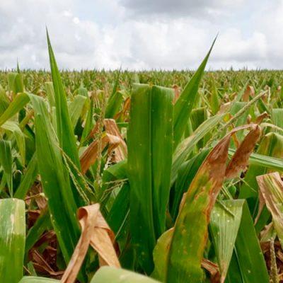A orientação é que os produtores rurais procurem o escritório da Epagri mais próximo para obter informações/Foto: Internet
