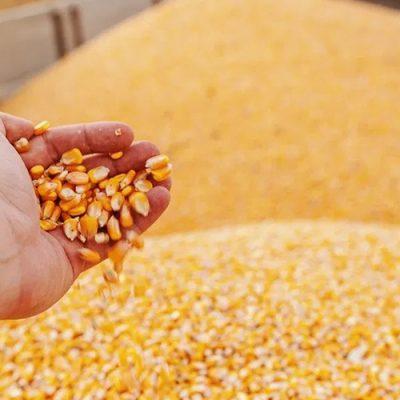 A escassez de milho e a falta de logística adequada para importação de grãos, o que pode trazer consequências para manter a produtividade das agroindústrias/Foto: Internet