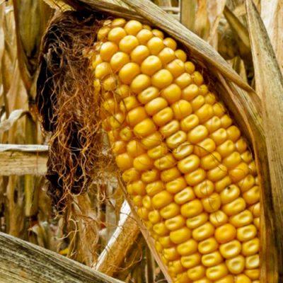 Seca afeta produção de milho e vários setores do agronegócio (Crédito: Sarah Vie/Flickr)