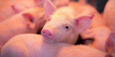 O ano iniciou com quedas nas exportações de carne suína, mas SC retomou o crescimento e ampliou as vendas/Foto: Internet