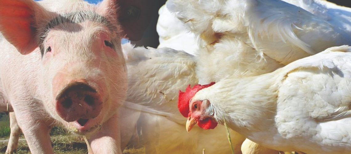 Pesquisas apontam que as baixas nos preços da carne suína estão atreladas à demanda interna enfraquecida/Foto: Divulgação Internet