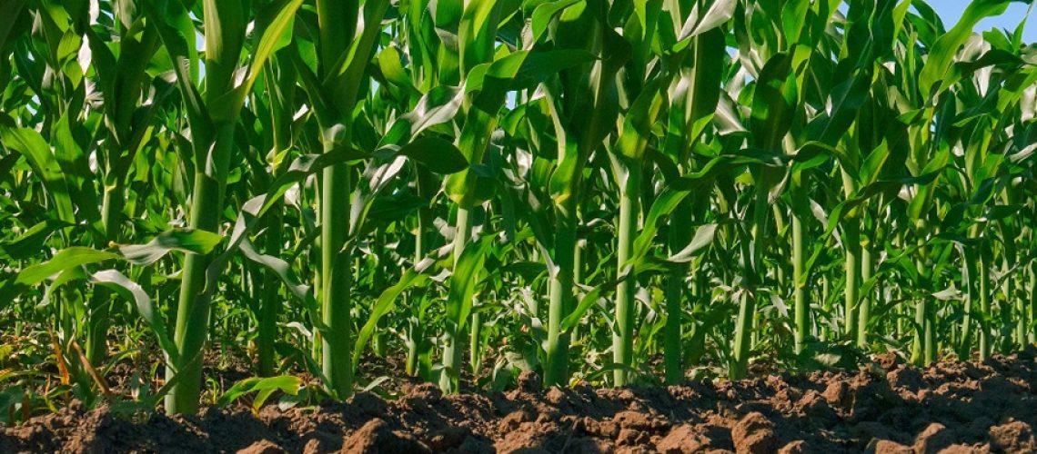 Situação do milho preocupa/Foto: Assessoria de Imprensa