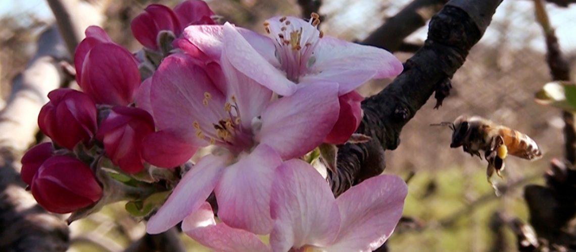 Flôr da Macieira/Foto: Maythe Novak/Bom Dia SC