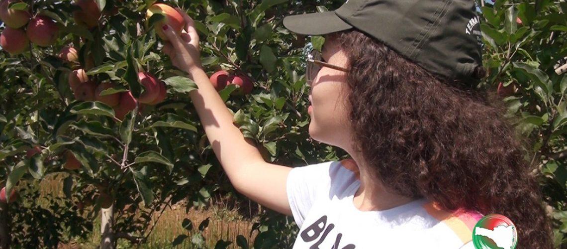 Colheita da maçã em Fraiburgo/Foto: Bom Dia SC