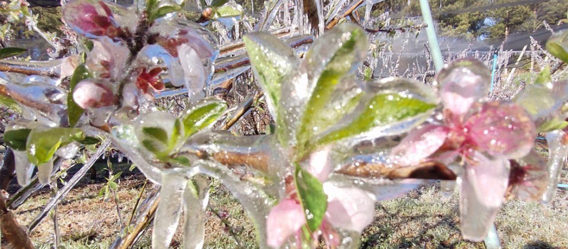 Em dias de inverno intenso, pés de frutas de caroço são congeladas/Foto: Bom Dia SC