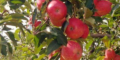 A praga vem gerando muitos prejuízos e apreensão à cadeia produtiva da maçã /Foto: Bom Dia SC