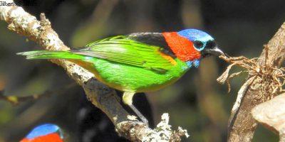 Essas aves também podem ser observadas direto nas árvores, porém como normalmente ficam no alto das mesmas, e em meio à folhagem, dificilmente se consegue uma imagem da ave inteira, o que no comedouro é muito fácil.