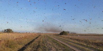 Até o momento o risco da chegada dos insetos ao território catarinense é considerado baixo/Foto: Internet