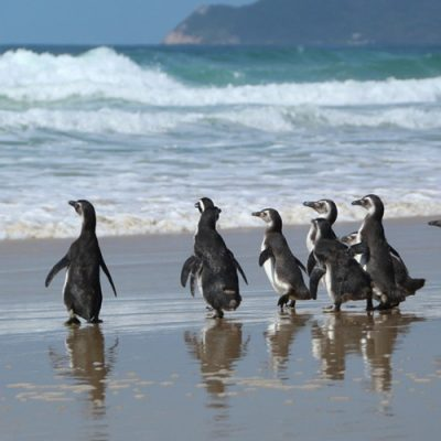 A soltura de dez pinguins, foi na praia de Moçambique, em Florianópolis
