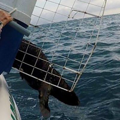 Pesando em torno de 19 Kg, o animal, da espécie Arctocephalus australis (lobo-marinho-sul-americano), voltou hoje ao seu habitat natural/Foto: OTO PMP-BS/Agência Petrobras