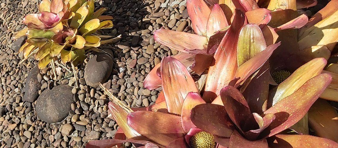 A bromélia é um grande fator de risco, foram encontrados focos neste tipo de planta