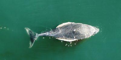 Baleia presa em rede de pesca na região de Florianópolis/Foto: Conexão Planeta