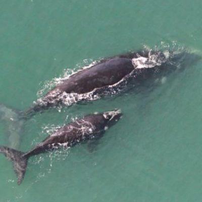 Um total de 42 baleias-francas (20 mães acompanhadas de filhotes e 2 adultas sozinhas) foram avistadas/Foto: Divulgação Petrobras