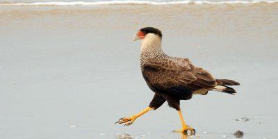 Carcará -Observação de aves - Foto: Gilberto Sander Müller