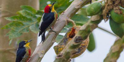 Pássaros & Práticas de Observação: em seu habitat natural com aproximadamente 300 espécies já catalogadas, sendo algumas ameaçadas de extinção